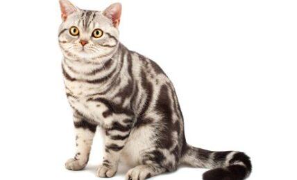 1609213295 Informacion imagenes caracteristicas y hechos de la raza de gato