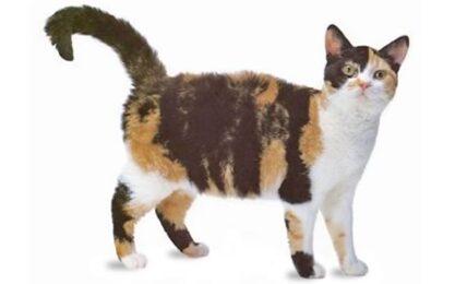 1609218352 Informacion imagenes caracteristicas y hechos de la raza de gato