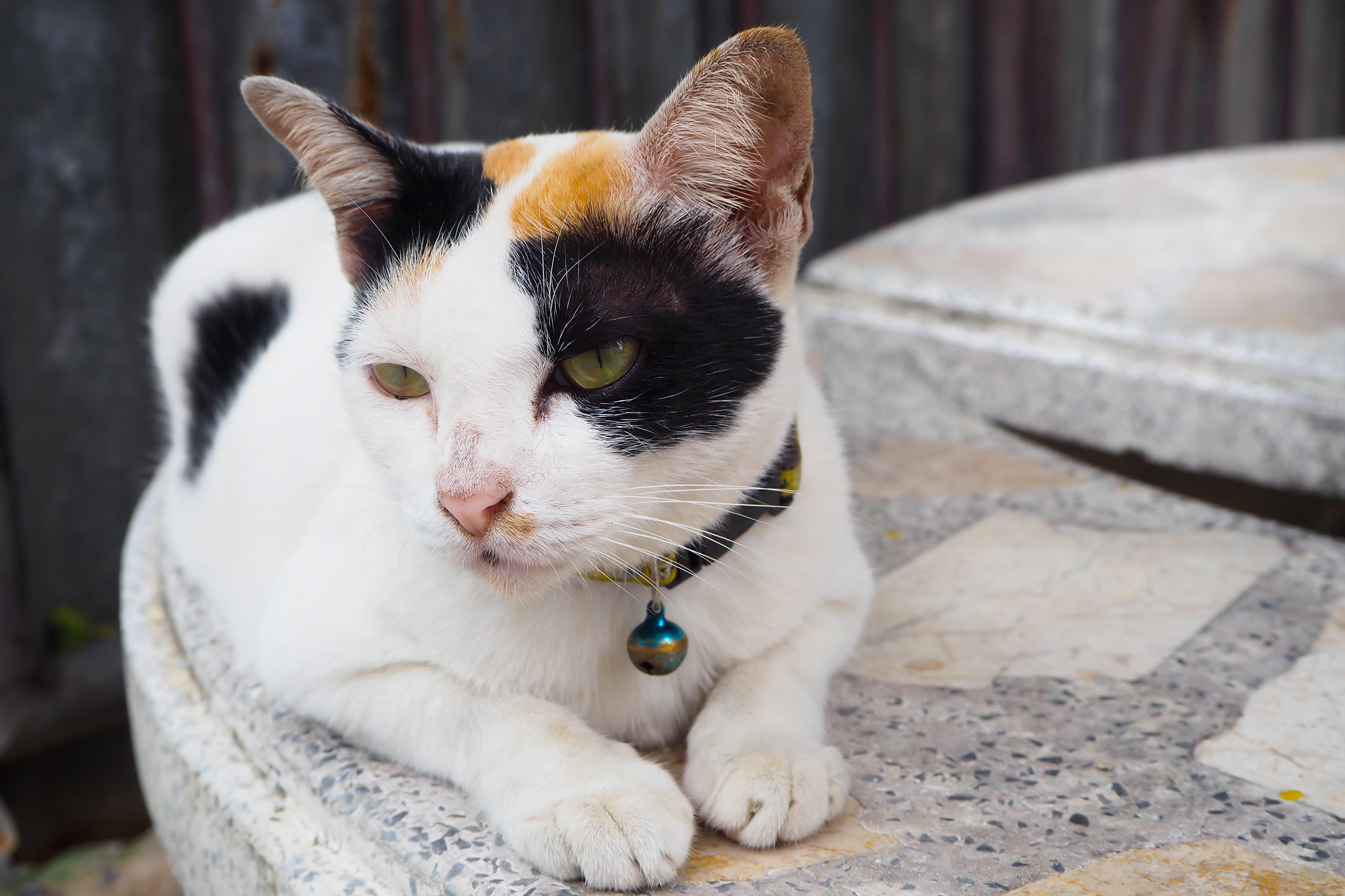 Fotos de razas de gatos mixtos asiáticos