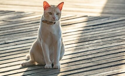 1609224067 Imagenes caracteristicas y hechos de razas mixtas de gatos asiaticos