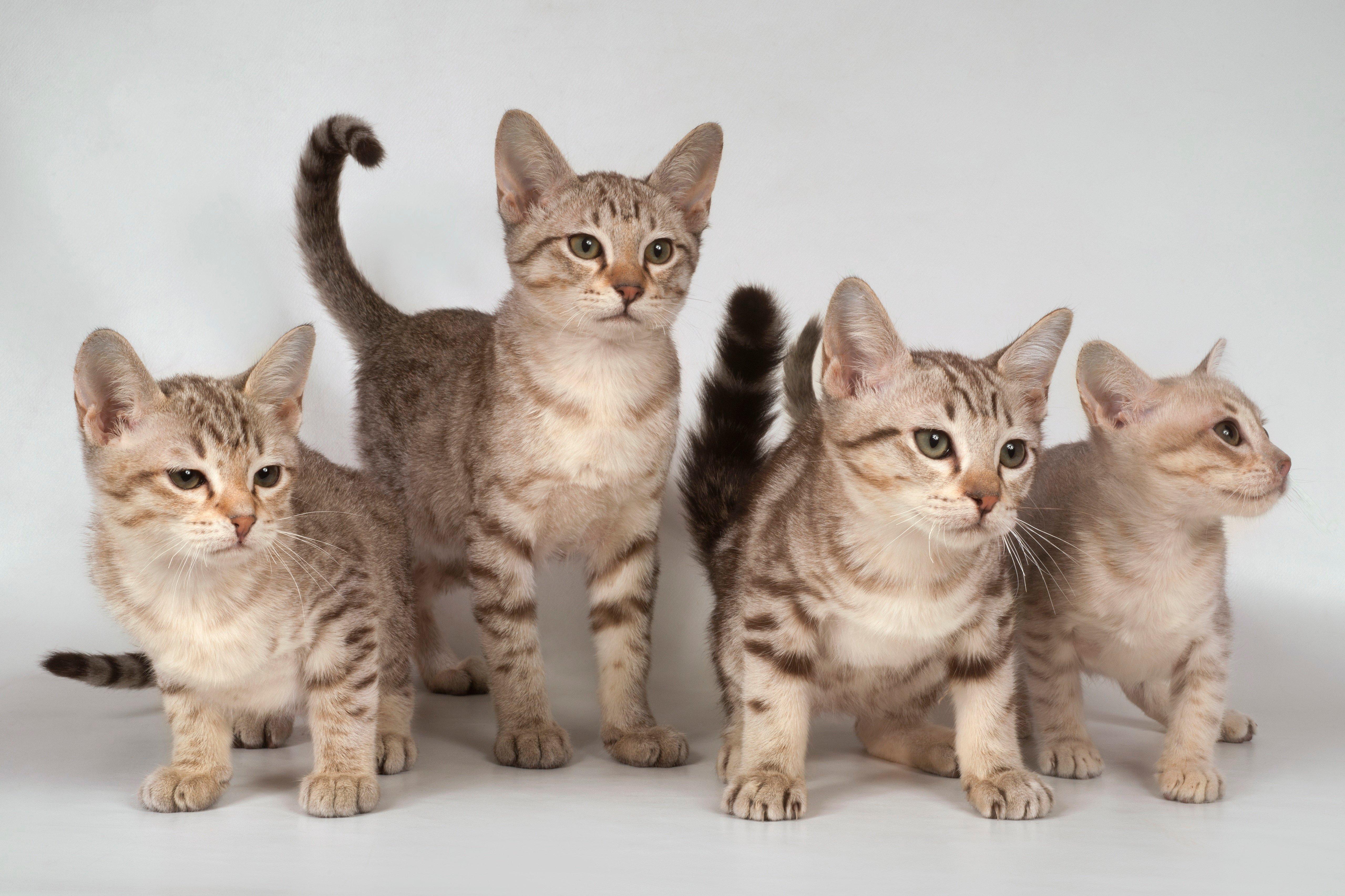 Fotos de razas de gatos mixtos de Australian Mist