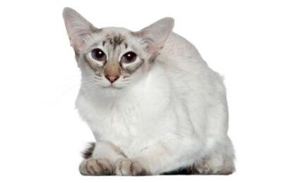 1609229254 Informacion imagenes caracteristicas y hechos de la raza de gato