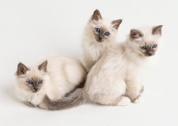 Gatitos y gatos Birmanos