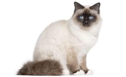 1609244793 Informacion imagenes caracteristicas y hechos de la raza de gato