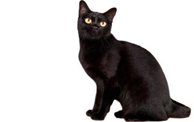 1609249913 549 Informacion imagenes caracteristicas y hechos de la raza de gato