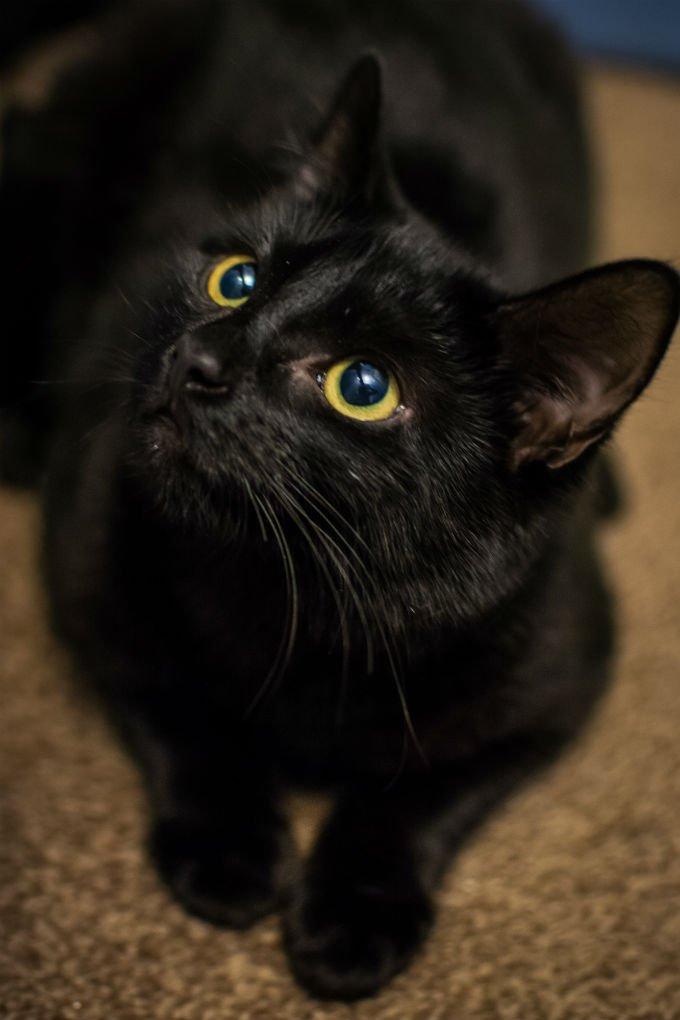 Gatos y gatitos de Bombay