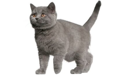 1609255449 Imagenes caracteristicas y hechos de la raza de gato brasileno