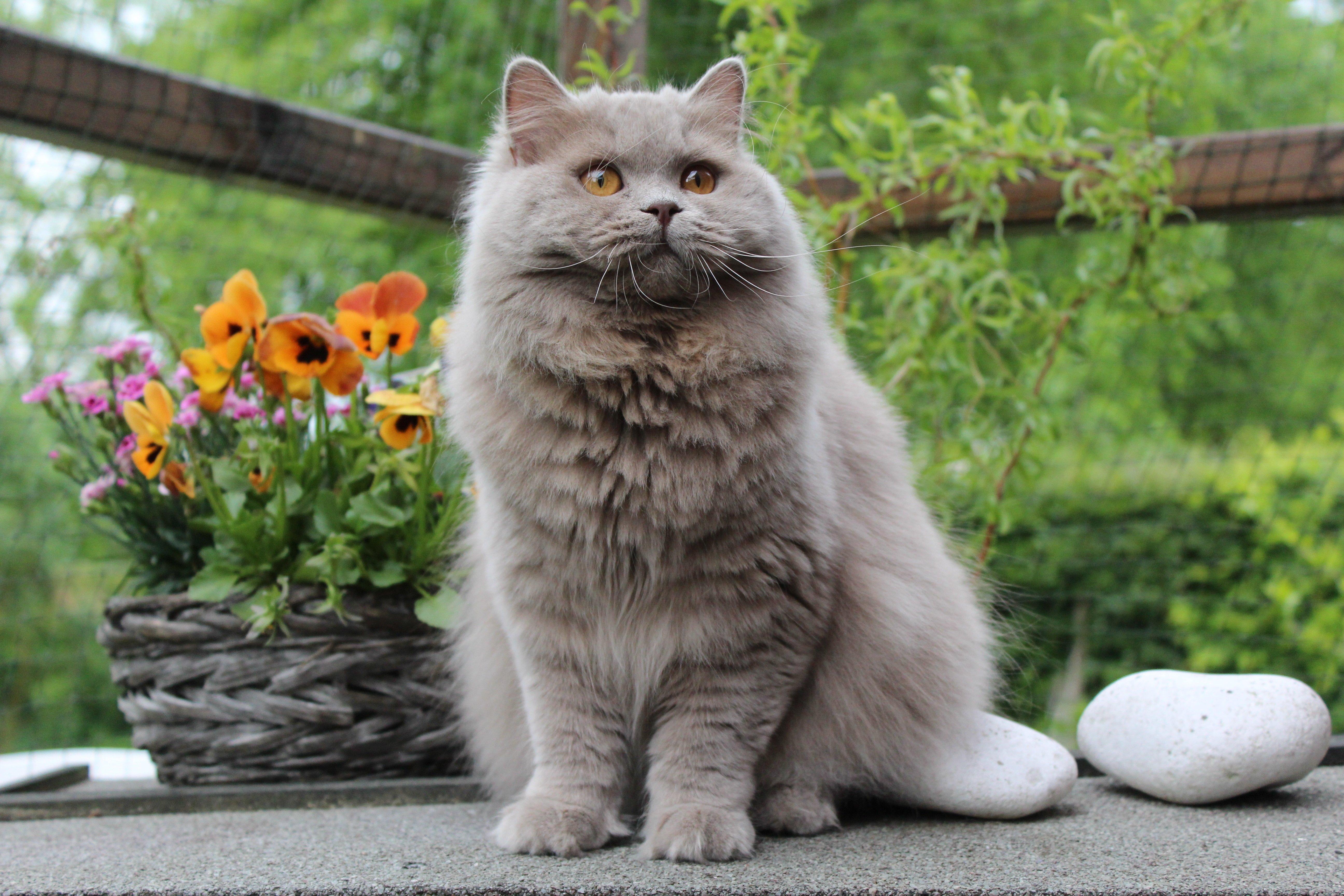Fotos de razas de gatos mixtos de pelo largo británico