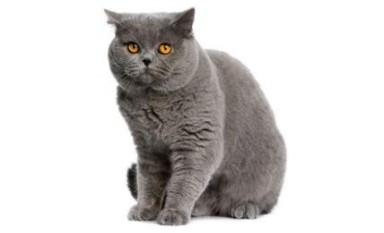 1609266401 Informacion imagenes caracteristicas y hechos de la raza de gato