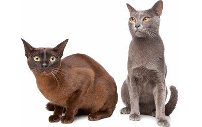 1609268831 334 Informacion imagenes caracteristicas y hechos de la raza de gato