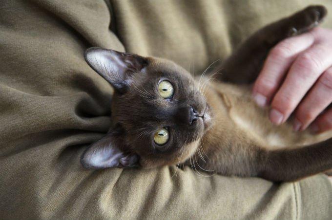 Gatos y gatitos birmanos