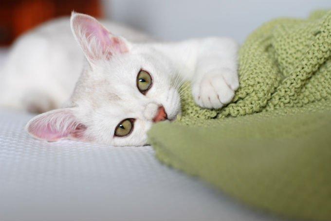 Gatos y gatitos de Burmilla