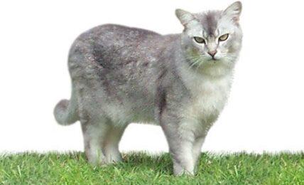 1609269109 Informacion imagenes caracteristicas y hechos de la raza de gato