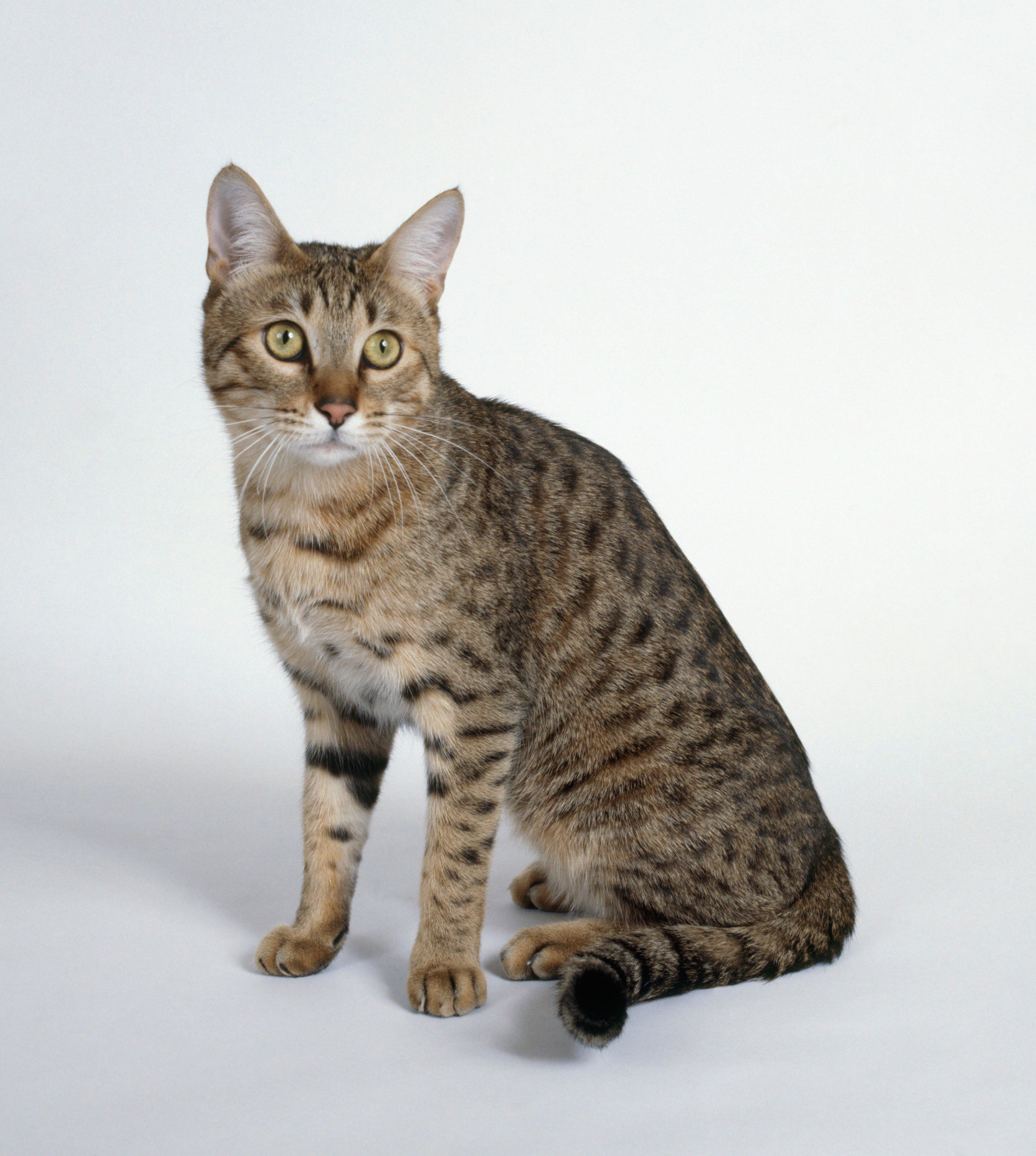 Fotos de razas mixtas de gatos de California Spangled