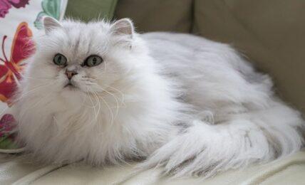 1609269401 Imagenes caracteristicas y hechos de la raza de gato Chantilly Tiffany