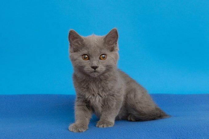 Gatitos y gatos Chartreux
