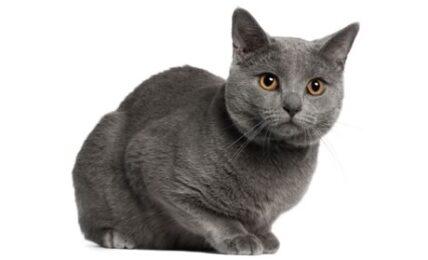 1609269693 Informacion imagenes caracteristicas y hechos de la raza de gato