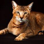1609269839 Imagenes caracteristicas y hechos de las razas mixtas de gatos