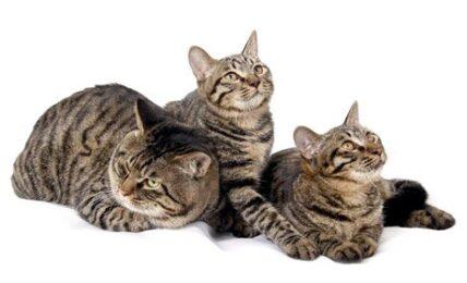 1609275691 Informacion imagenes caracteristicas y hechos de la raza de gato