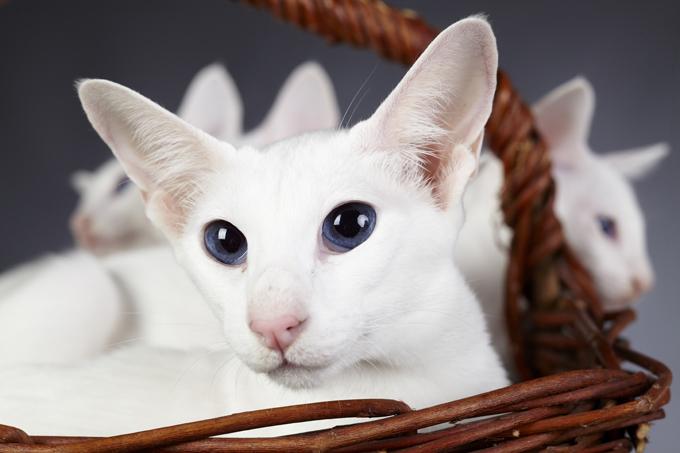 Gatos y gatitos de pelo corto de Colorpoint