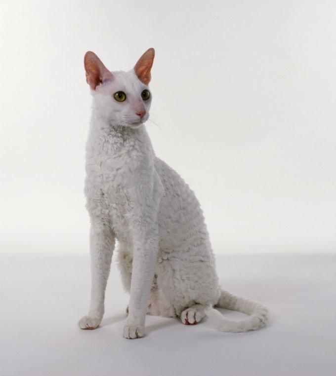 Gatos y gatitos Cornish Rex