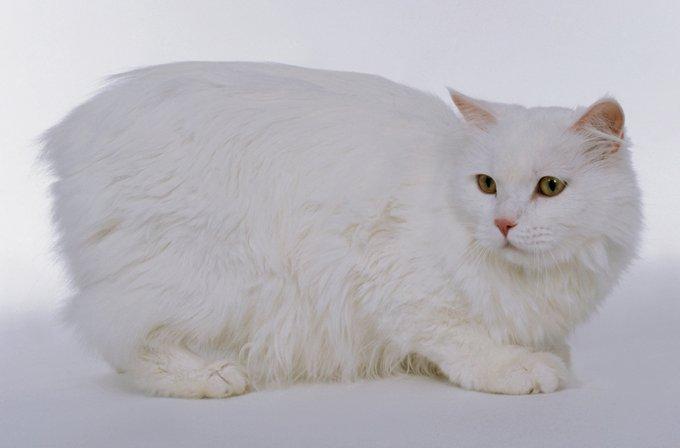 Gatos y gatitos Cymric