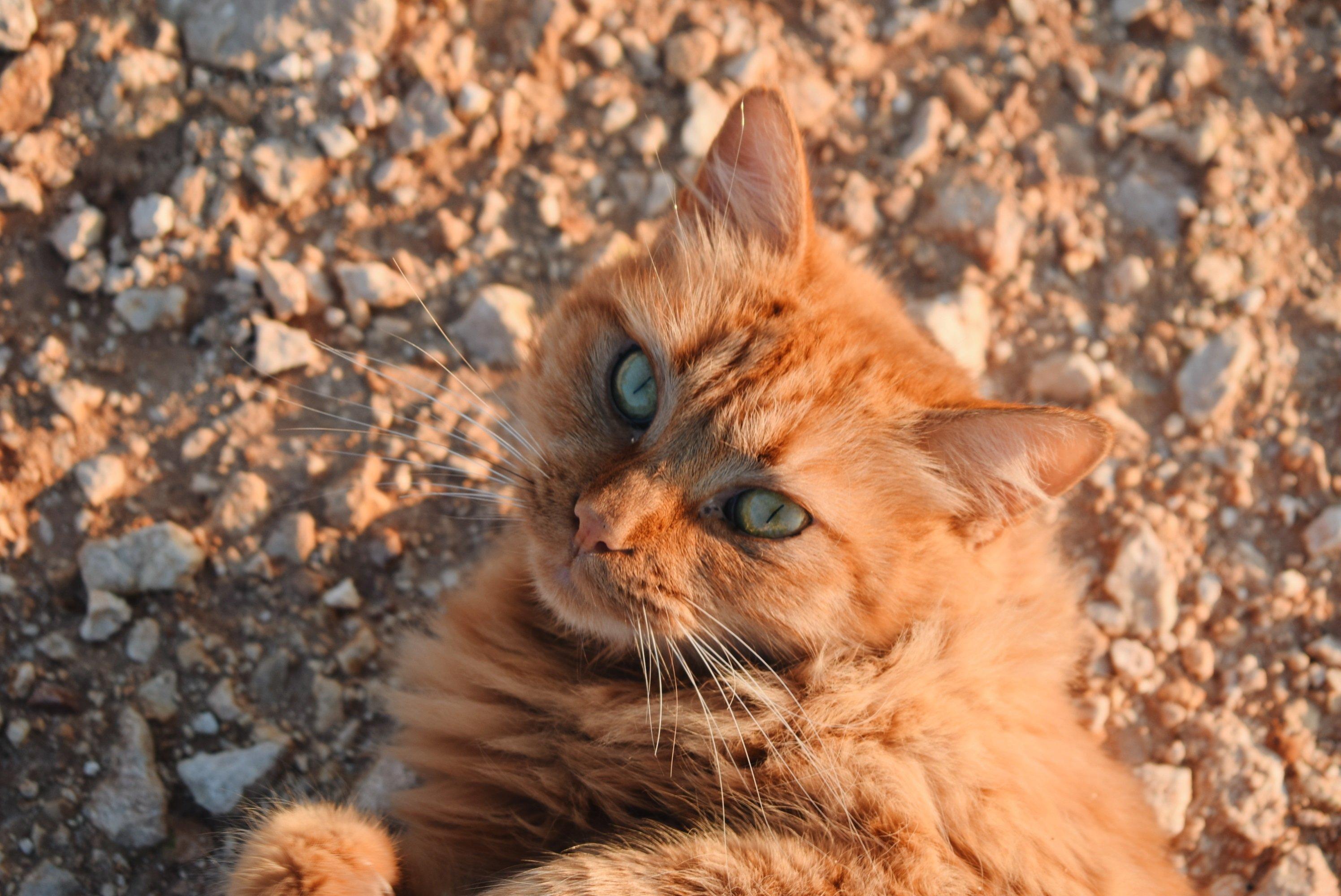 Fotos de Chipre Cat Breed
