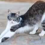 1609298166 Imagenes caracteristicas y hechos de la raza de gato de