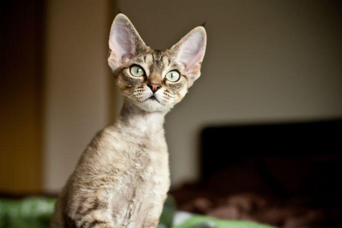 Devon Rex Gatos y gatitos