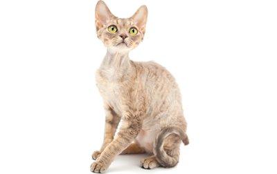 1609308977 733 Informacion imagenes caracteristicas y hechos de la raza de gato