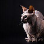 1609316737 Imagenes caracteristicas y hechos de la raza de gato Donskoy