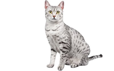 1609324155 804 Informacion imagenes caracteristicas y hechos de la raza de gato