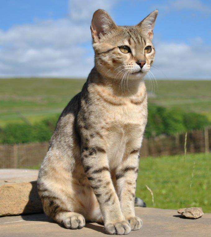Gatos y gatitos mau egipcios