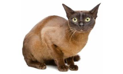 1609331693 Informacion imagenes caracteristicas y hechos de la raza de gato