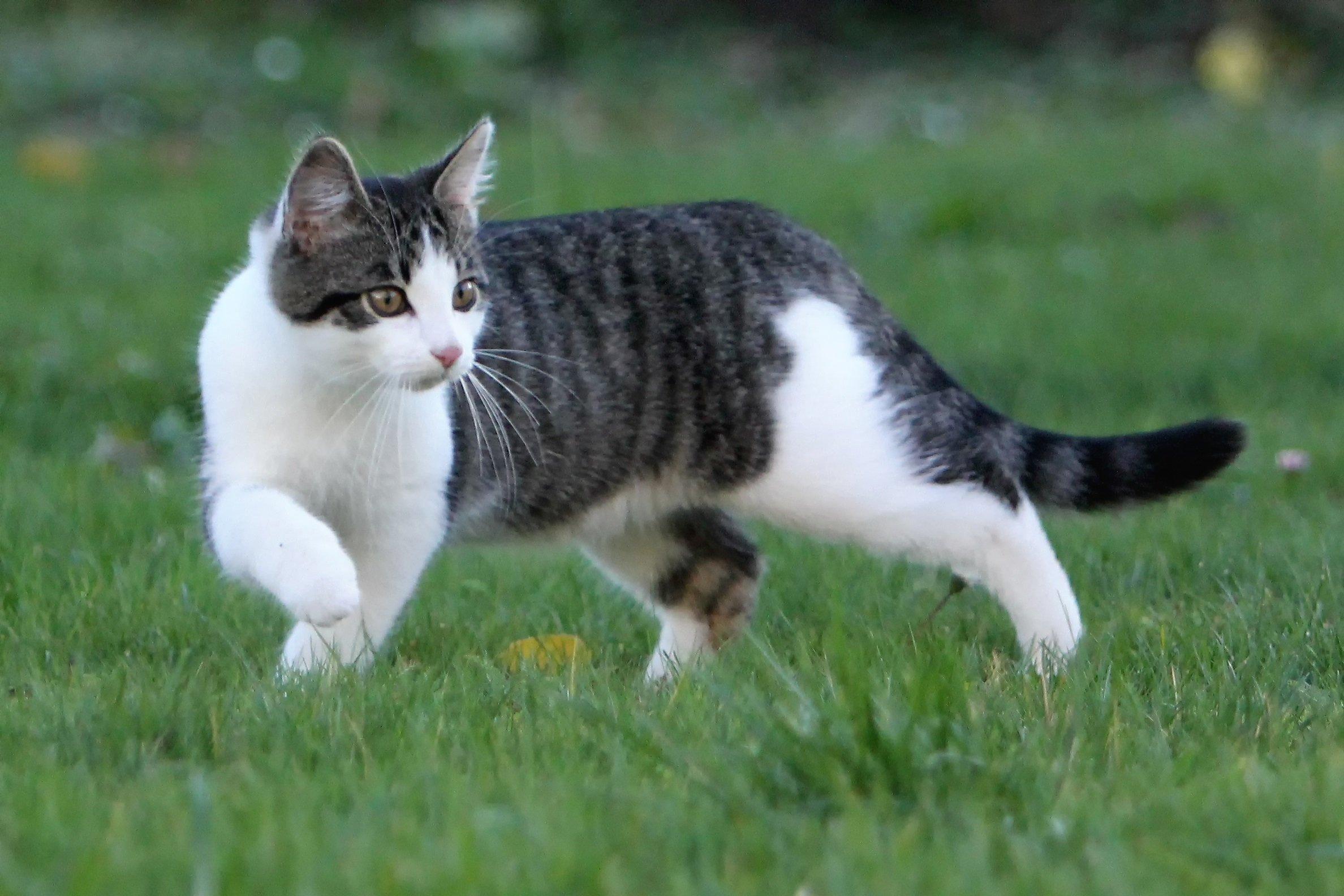 Fotos de razas de gatos europeos de pelo corto