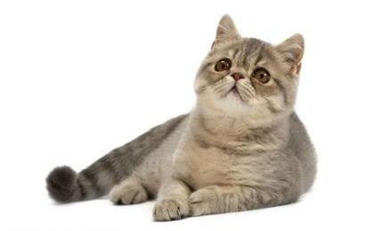 1609345063 Informacion imagenes caracteristicas y hechos de razas de gatos exoticos