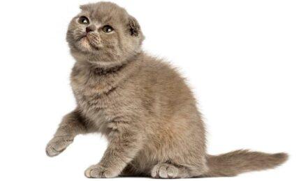 1609351395 Imagenes caracteristicas y hechos de las razas mixtas de gatos