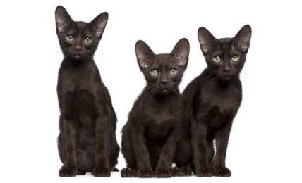 1609363282 Informacion imagenes caracteristicas y hechos de la raza de gato