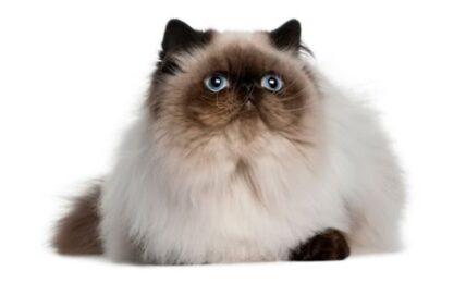 1609375433 Informacion imagenes caracteristicas y hechos de la raza de gato