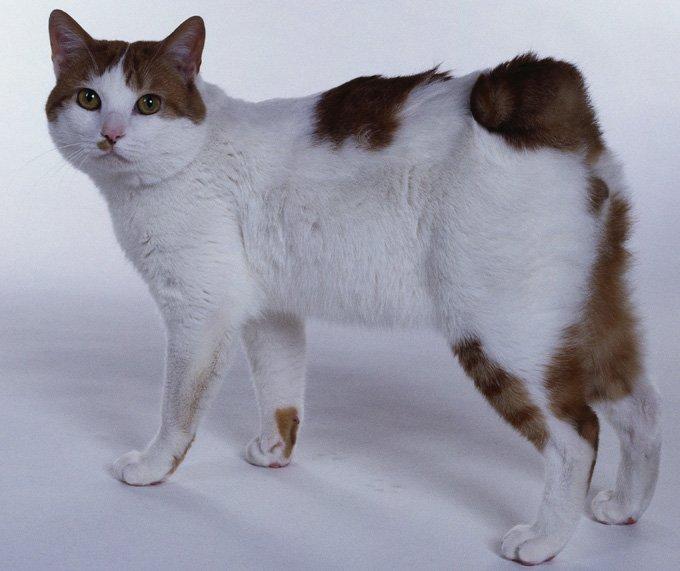 Gatos y gatitos bobtail japoneses
