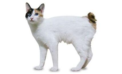 1609380873 Informacion imagenes caracteristicas y hechos de la raza de gato