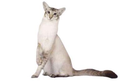 1609387994 Informacion imagenes caracteristicas y hechos de la raza de gato