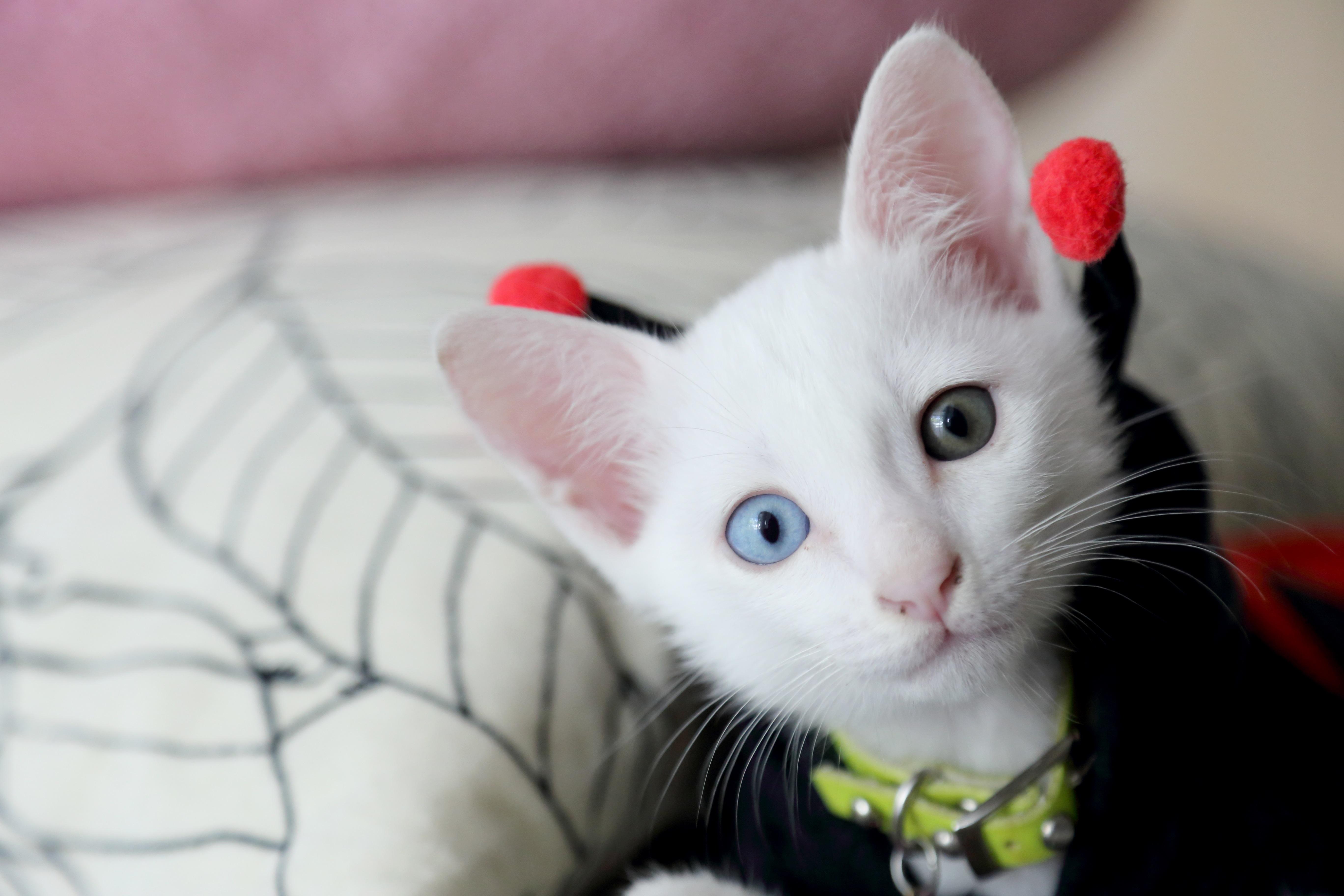 Fotos de Khao Manee Cat Breed