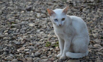 1609392944 Imagenes caracteristicas y hechos de la raza de gato Khao