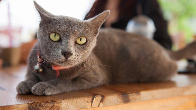 Gatos y gatitos Korat