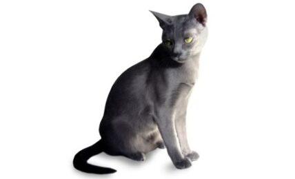 1609398842 Informacion imagenes caracteristicas y hechos de la raza de gato