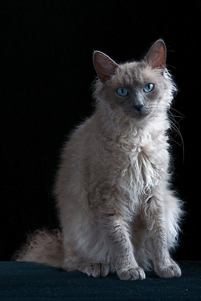 Gatos y gatitos Laperm