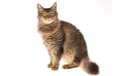 1609412187 Informacion imagenes caracteristicas y hechos de la raza de gato
