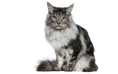 1609425153 690 Informacion imagenes caracteristicas y hechos de la raza de gato