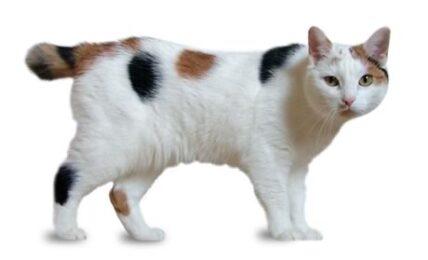 1609431148 Informacion imagenes caracteristicas y hechos de la raza de gato